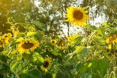 Солнцецветы в поле, земледелии и садовничать стоковое изображение