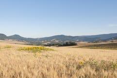 Солнцецветы в поле ячменя Стоковое Изображение