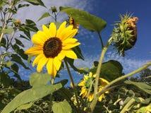 Солнцецветы в поле Стоковое Изображение