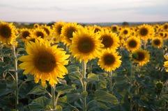 Солнцецветы в поле стоковые фотографии rf