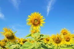 Солнцецветы в природе Стоковые Фотографии RF