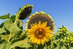 Солнцецветы в различных этапах жизни Стоковые Изображения RF