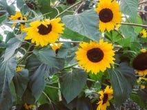 Солнцецветы в саде Стоковое Фото