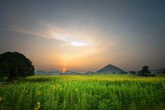 Солнцецветы в утре стоковые изображения rf