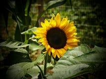 Солнцецветы в цветени! стоковые изображения