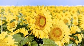 Солнцецветы в Южной Дакоте Стоковая Фотография RF