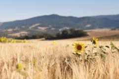 Солнцецветы в ячмене Стоковые Изображения