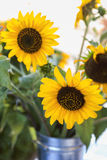 Солнцецветы в Galvanized могут стоковые фотографии rf
