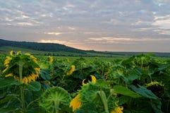 Солнцецветы гнут их головы в заходе солнца Стоковое Изображение RF