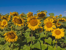 солнцецветы голубого неба предпосылки Стоковые Изображения RF
