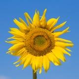 солнцецветы голубого неба Стоковое Фото
