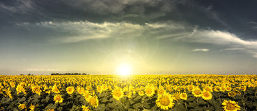 Солнцецветы захода солнца Стоковое Изображение