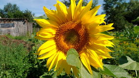 Солнцецветы, зацветая против яркого неба, красивый, большой, невиденный Таиланд цветут, желтеют Стоковая Фотография RF