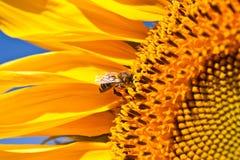 Солнцецветы и пчела Стоковые Изображения