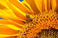 Солнцецветы и пчела стоковое изображение rf