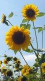 Солнцецветы и пчела стоковая фотография