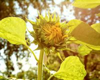 Солнцецветы и солнечный день Стоковое Фото