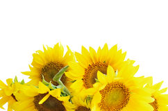 Солнцецветы на белизне стоковые изображения rf