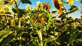 Солнцецветы на голубом настольном компьютере Стоковое фото RF