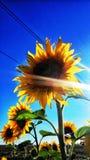 Солнцецветы на голубом настольном компьютере Стоковая Фотография RF