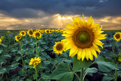 Солнцецветы на заходе солнца в поле стоковое изображение