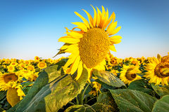 солнцецветы на заходе солнца предпосылки Стоковое Фото
