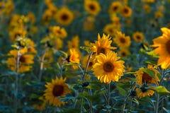 Солнцецветы на заходе солнца Стоковое Изображение RF