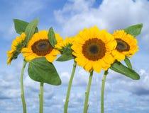 Солнцецветы на красивом летнем дне Стоковые Изображения
