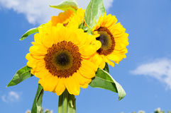 Солнцецветы на красивом летнем дне Стоковое Изображение RF