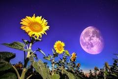 Солнцецветы на ноче - с звездами небом и backgro полнолуния звезд Стоковая Фотография RF