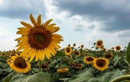 Солнцецветы на пасмурной погоде Стоковая Фотография