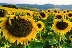 Солнцецветы на переднем плане Стоковое Фото