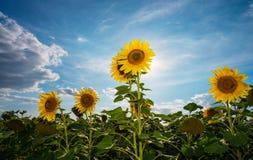 Солнцецветы на поле стоковые фотографии rf