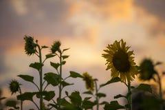 Солнцецветы на сумраке Стоковое Изображение RF