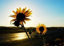 Солнцецветы обочины Стоковое Фото