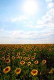 солнцецветы орнамента цветка поля Стоковая Фотография