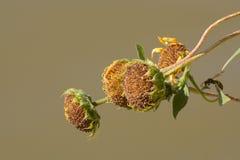 Солнцецветы осени увядая Стоковые Изображения RF