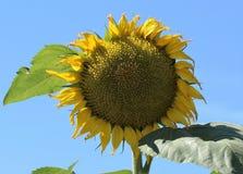 Солнцецветы подсолнечника стоковое изображение rf