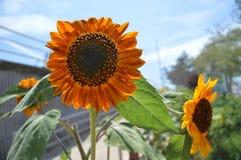 Солнцецветы под солнцем Стоковые Изображения RF