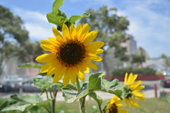 Солнцецветы под солнцем Стоковая Фотография RF