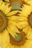 Солнцецветы - предпосылка цветка Стоковые Фото
