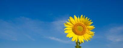 солнцецветы против голубого неба на поле Стоковые Фотографии RF