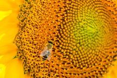 Солнцецветы пчелы опыляя Стоковая Фотография