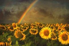 Солнцецветы & радуга стоковая фотография