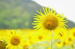 солнцецветы сада Стоковое Изображение RF