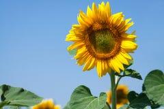 Солнцецветы с небом Стоковые Изображения