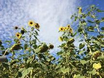 Солнцецветы с облаками овец Стоковое Изображение RF