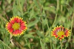 Солнцецветы с падениями воды Стоковая Фотография