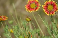 Солнцецветы с падениями воды Стоковое фото RF