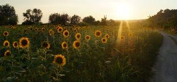 солнцецветы Тоскана Стоковые Изображения